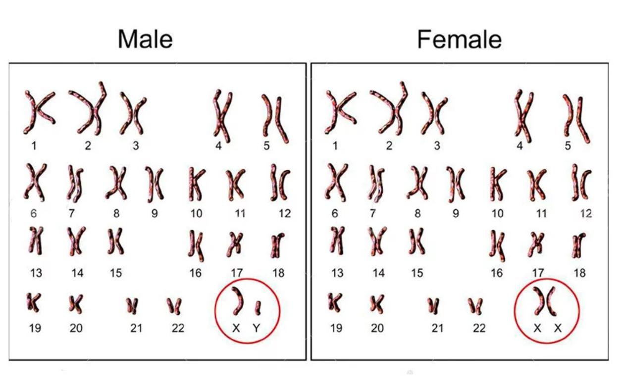 なぜ男性にもX染色体が必要なの? - ナゾロジー