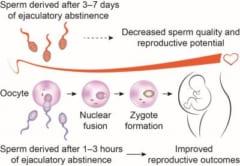 「前回の射精から3時間以内が妊娠に効果的」という新しい研究結果の画像 2/2