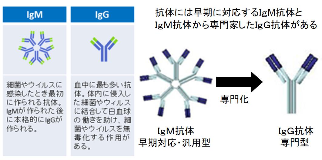 日本人は新型コロナウイルスに対して免疫を持っている可能性 低い死亡率の原因?の画像 2/6