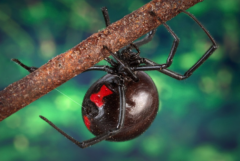 スパイダーマンになりたかった少年、毒グモに手を咬ませて救急搬送される(ボリビア)【虫注意】の画像 3/3