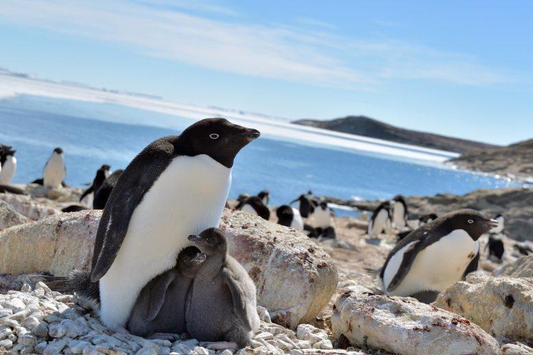 南極のペンギンは温暖化のおかげで繁栄していた!? 繁殖のメカニズムを解明