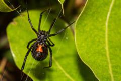 スパイダーマンになりたかった少年、毒グモに手を咬ませて救急搬送される(ボリビア)【虫注意】の画像 1/3