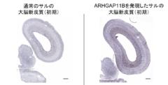 ヒトの脳を進化させた「知恵の実」遺伝子が、サルの脳を巨大化させると判明の画像 2/4