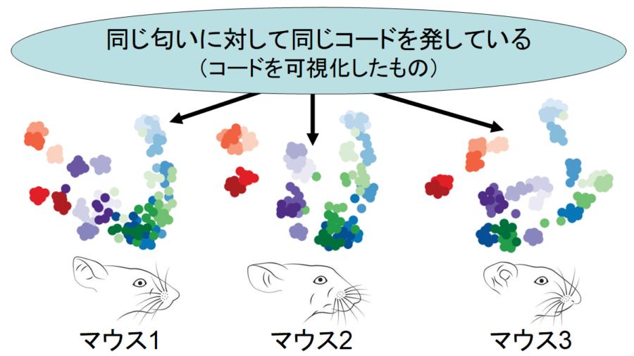 脳が「嗅覚をコード化」する仕組みをマウス実験で解明! 自分が感じるレモンの香りは人類共通の認識だった