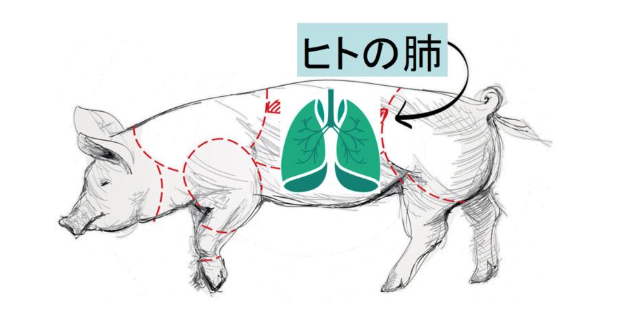 損傷したヒト肺を「豚に移植して回復させる」ことに成功! 生体だけに含まれる未知の物質の存在が示唆される