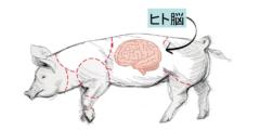 損傷したヒト肺を「豚に移植して回復させる」ことに成功! 生体だけに含まれる未知の物質の存在が示唆されるの画像 5/5