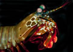 """超強力「シャコパンチ」は、拳にナノ粒子をまとって""""衝撃を吸収する""""と判明の画像 4/4"""