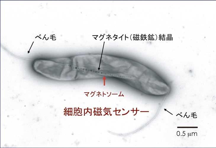 """ナゾだった""""地球の磁場""""を感じ取る動物の「第六感」は、バクテリアに由来しているかもしれないの画像 2/4"""