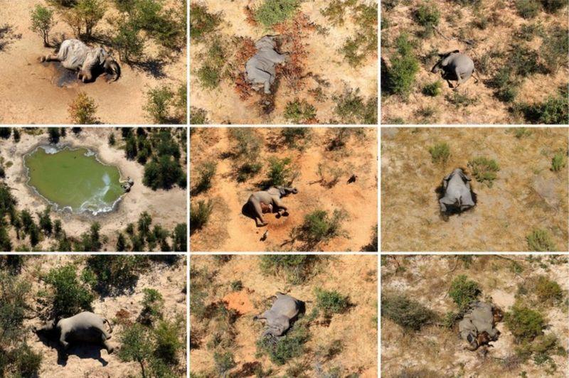 死因不明の「ゾウの大量死」、水飲み場に大量発生したシアノバクテリアが原因と発表(ボツワナ)の画像 2/3