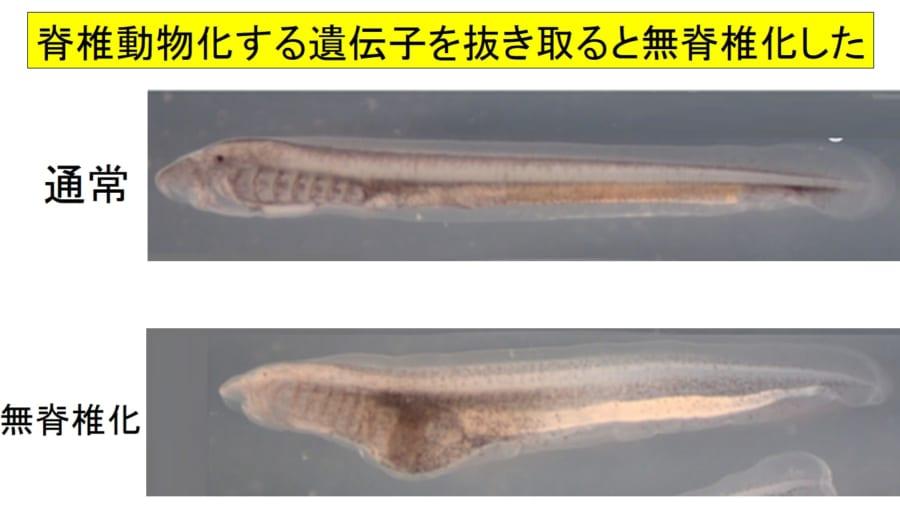 5億年前に生物を「脊椎動物にした遺伝子」を発見!ヤツメウナギに無脊椎化する先祖返りが発生