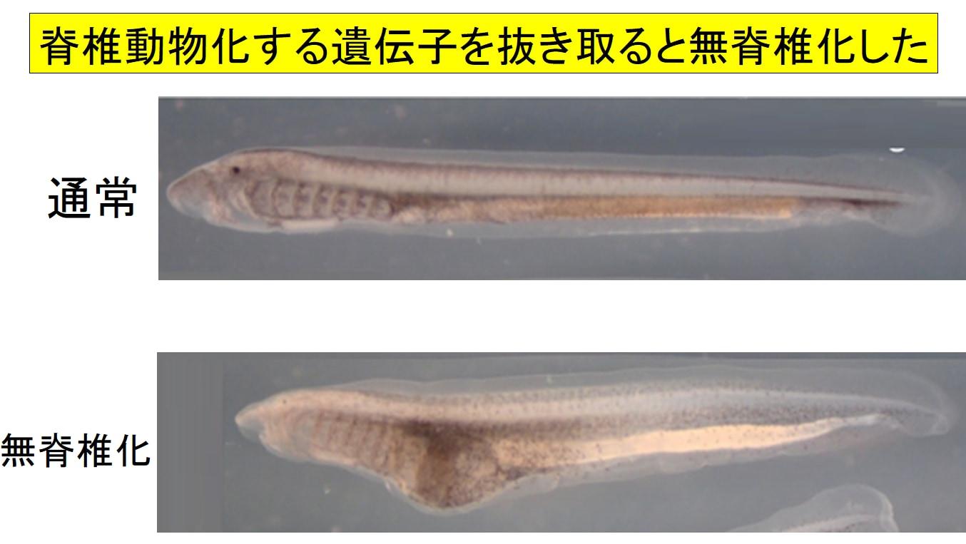 脊椎動物になるために必要な遺伝子を抜き取るとヤツメウナギが無脊椎化してしまった