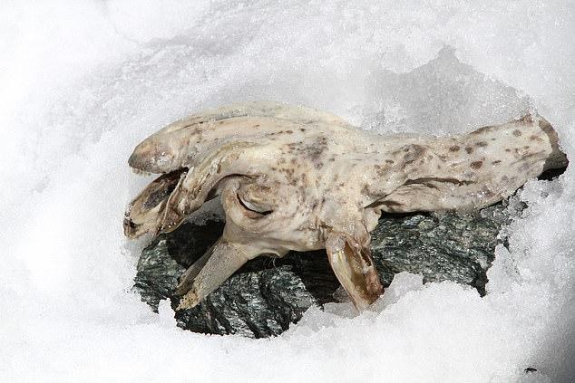 """アルプスの氷河が溶け出し「400年前のヤギのミイラ」が露出!体毛がなく""""革のような皮膚""""に驚きの画像 3/4"""