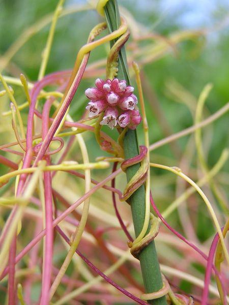 """寄生植物は宿主が開花する時期を"""" 盗聴""""して一緒に開花するの画像 3/5"""