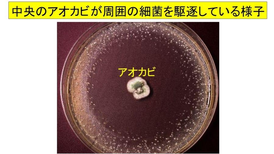 中央のアオカビが分泌するペニシリンのせいで周囲の細菌が駆逐されている