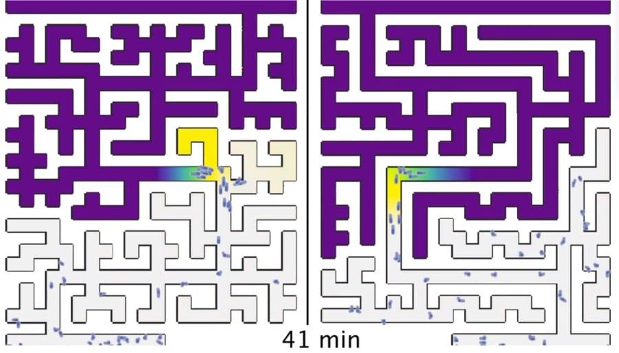 「アメーバ」は人間よりも迷路攻略が得意だった!行き止まり回避能力の謎が解明される
