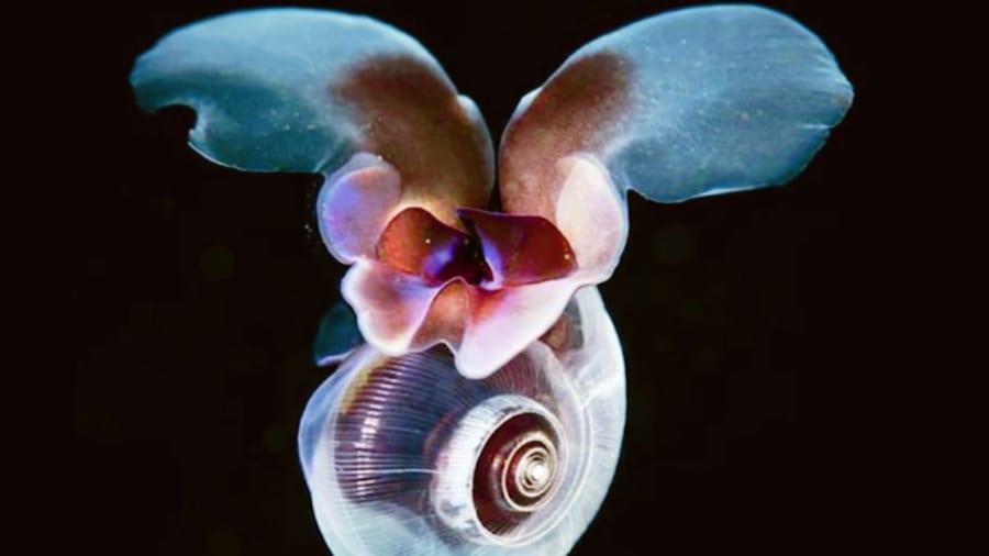 海中で羽ばたく貝「海の蝶」の移動方法を調査。貝殻の形によって泳ぎ方を変えていた!?
