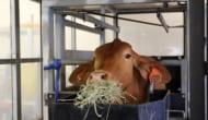 FutureFeedを食べる牛