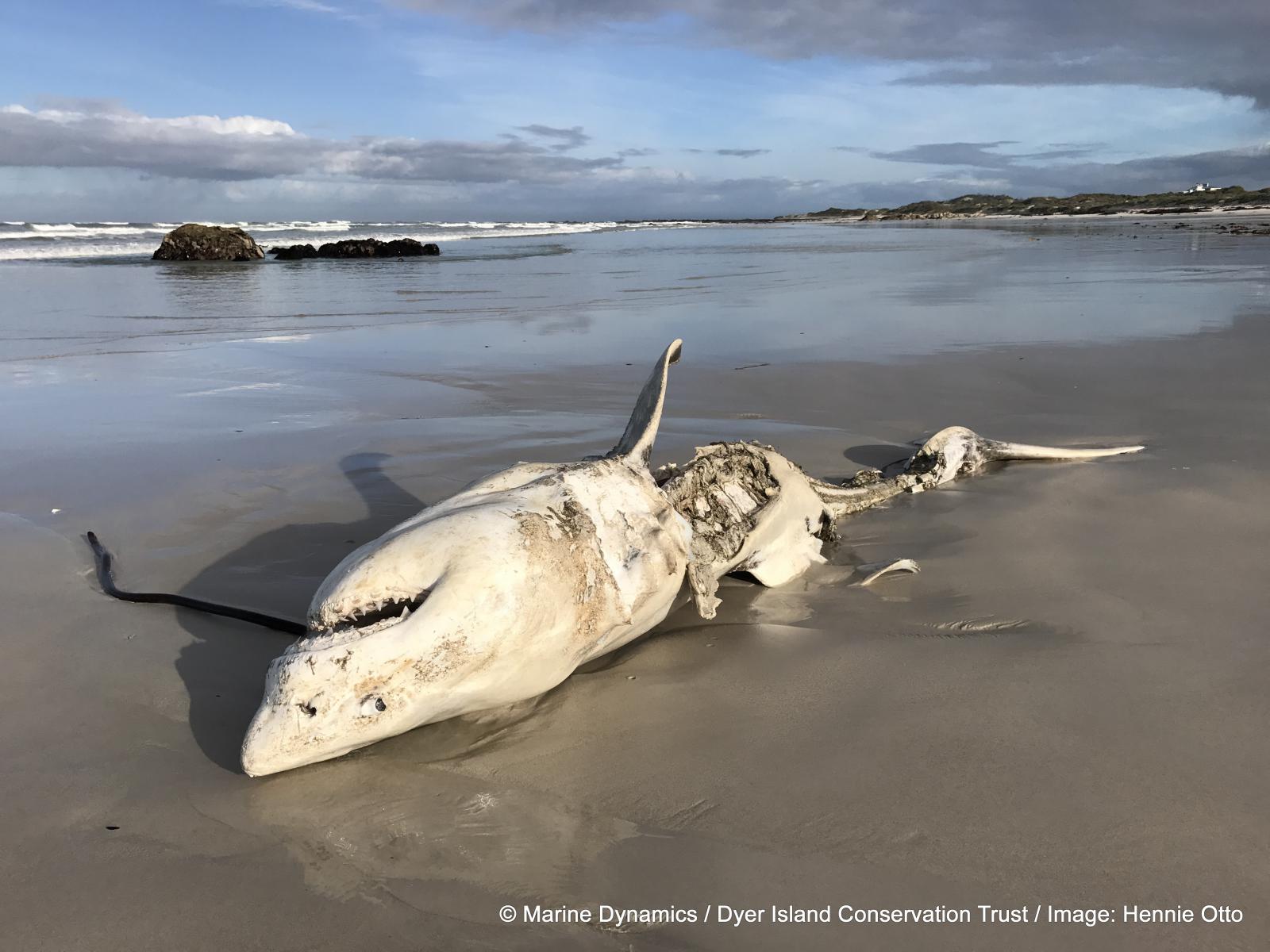 """ホオジロザメが""""恐怖""""で1年間も縄張りから逃げ出す「海のギャング」がいると判明の画像 6/7"""