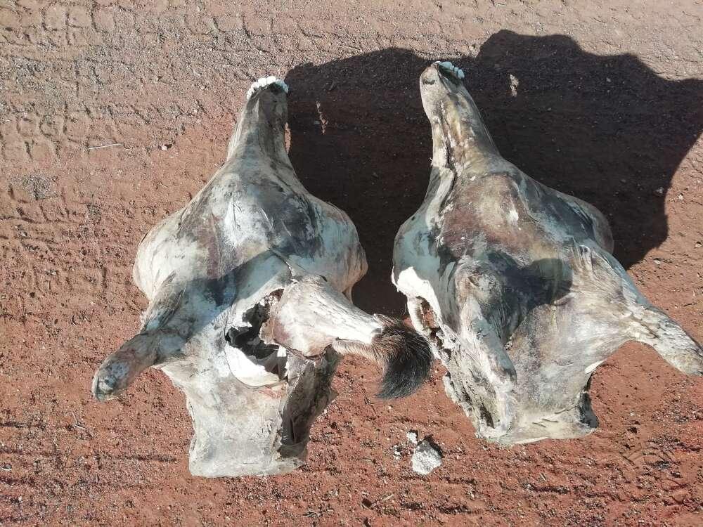 落雷で死亡した2頭のキリンの頭蓋骨