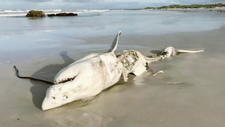 """ホオジロザメが""""恐怖""""で1年間も縄張りから逃げ出す「海のギャング」がいると判明"""