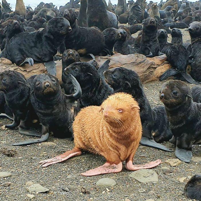 出現率10万分の1「オレンジ色のアルビノアザラシ」を発見!群れから敬遠される『みにくいアヒルの子』状態だったの画像 1/4