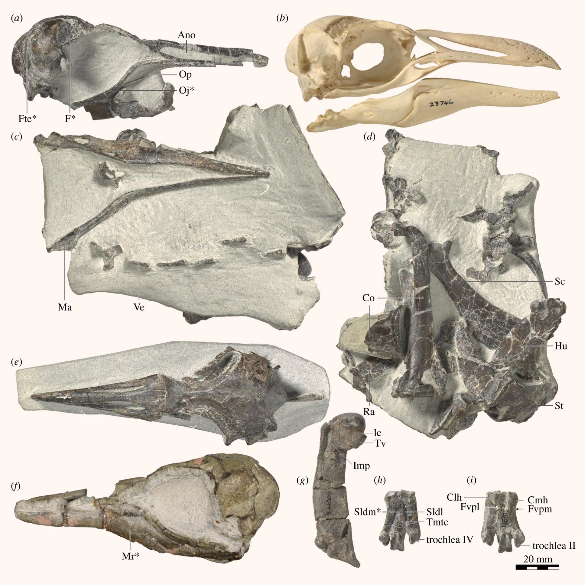 """すべてのペンギンの祖先は、""""失われた第8大陸ジーランディアの住人""""だったの画像 2/4"""