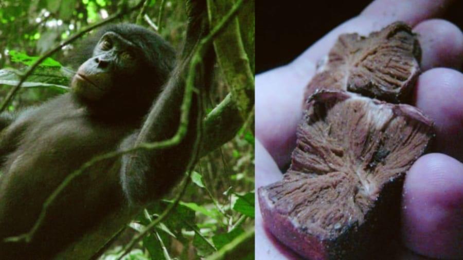 """類人猿ボノボがきっかけで「新種のトリュフ」を発見!""""高級食材""""の仲間入りの可能性も(コンゴ)"""