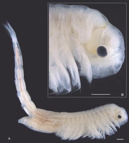 """最高気温80℃の""""地球一暑い砂漠""""で、新種の「純白の甲殻類」が発見されるの画像 2/3"""
