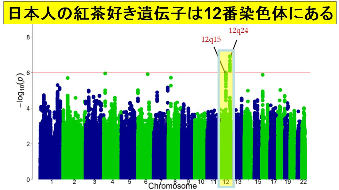 12q24は日本を含む東アジア人にしか存在しない遺伝子座である