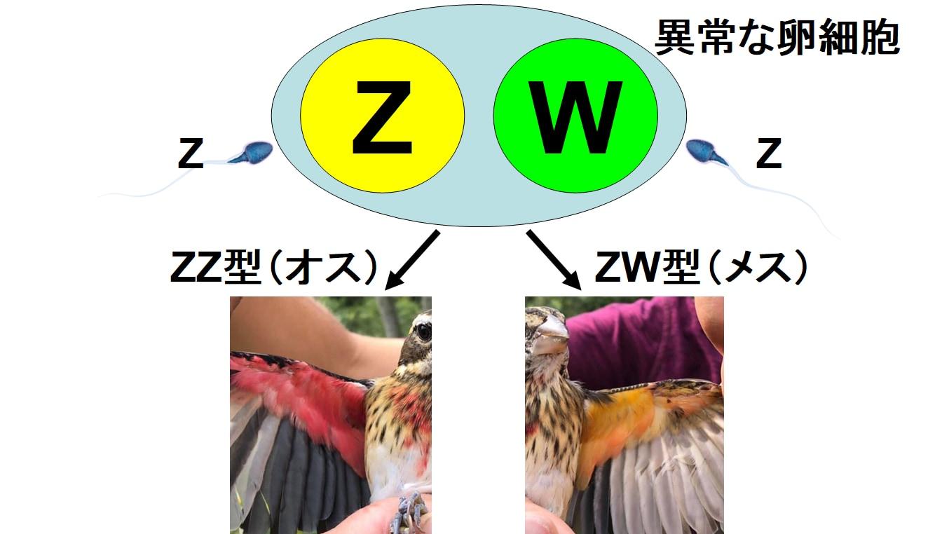 哺乳類はXYがオスでXXがメスだが、鳥の場合はZZがオスでZWがメスになる