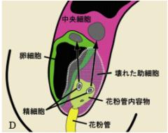 通常、花粉管からは精細胞と花粉管内容物が流れ込む