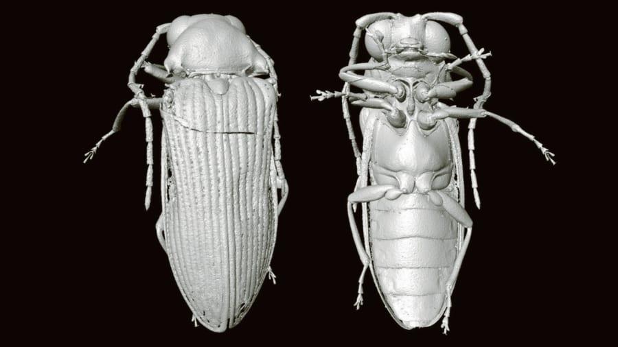 """""""琥珀から見つかった9900万年前のナゾの甲虫""""の正体が3D復元により暴かれる! 日本のコメツキムシの祖先の可能性(ミャンマー)"""