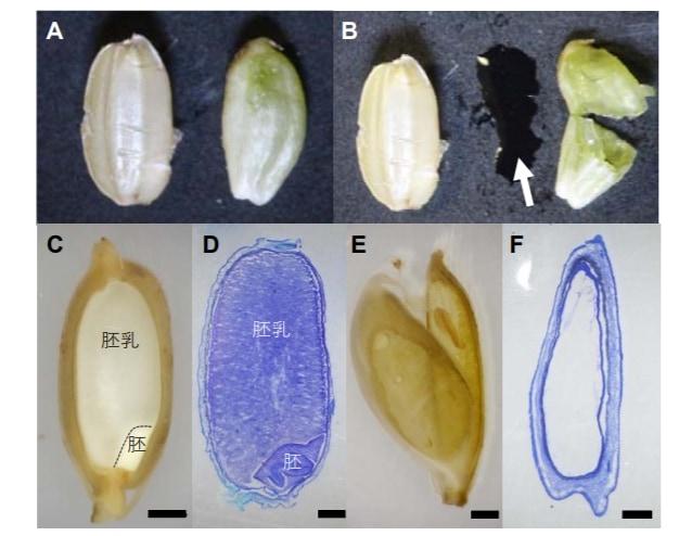 通常のイネ(C,D)には胚乳が蓄えられるが、受精失敗した砂糖イネ(E,F)には砂糖水が蓄えられる