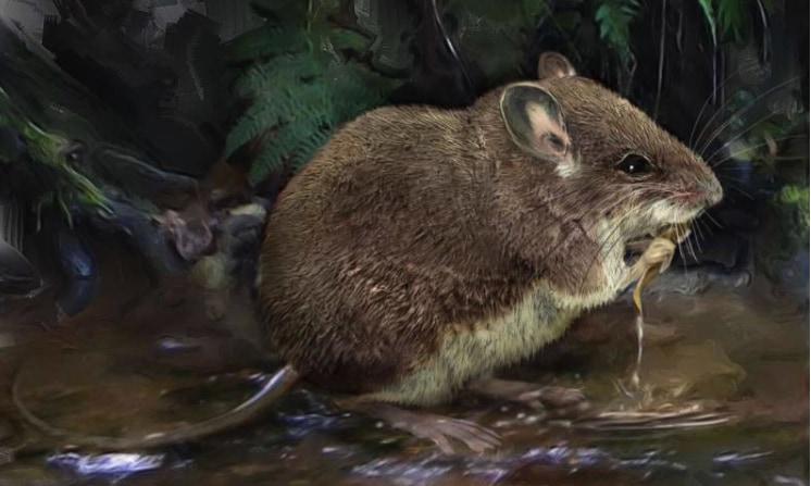 ひげをソナーにして獲物をハント、「半水棲ネズミ」の新種を2種発見(コンゴ)