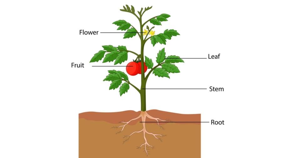 花、葉、実、幹、根の位置が正しいのは植物に方向があるから