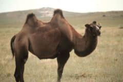 中央アジアに分布する「フタコブラクダ」