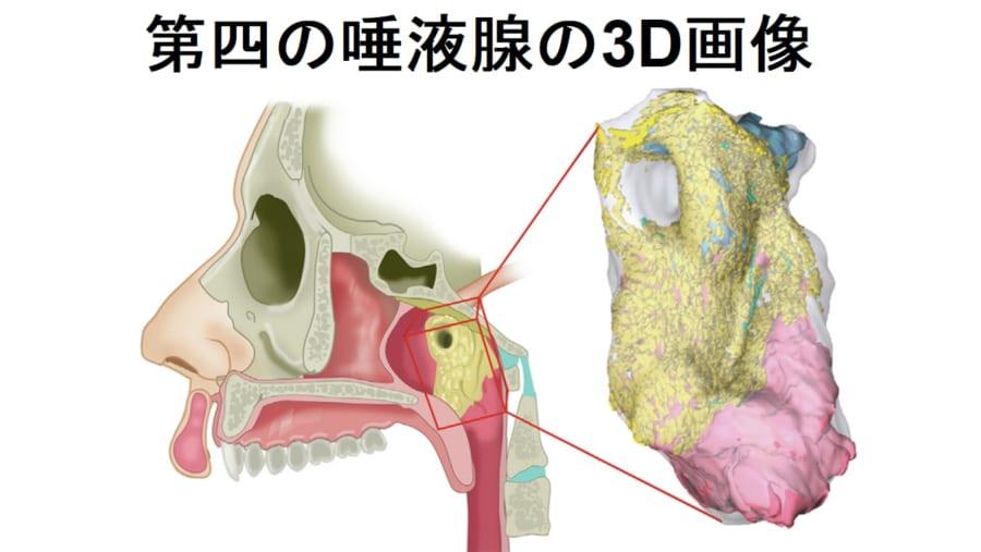 新しい臓器は第4の唾液腺であり、口や喉に唾液を供給する蛇口の役割をしていた