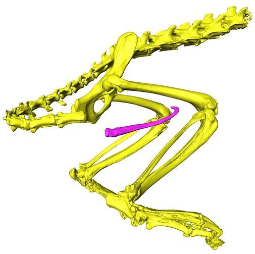 ペニスの骨は体の骨と接続していない独立した骨
