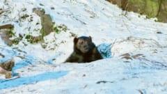 「冬眠能力」を持つ熊(クマ)