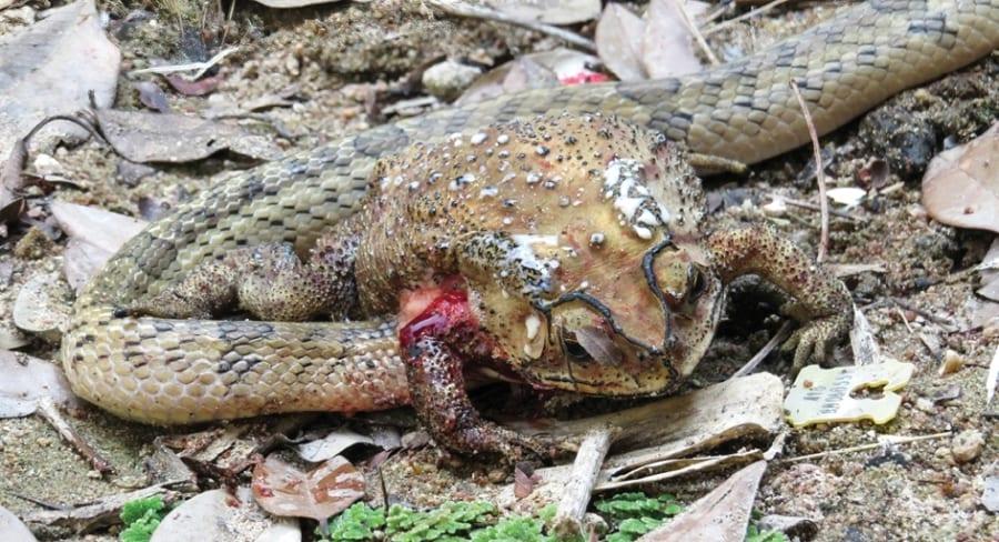 認知能力が鳥類や哺乳類に匹敵するヘビを発見!カエルの毒を避ける捕食方法とは?