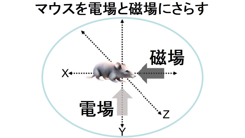 マウスを電磁場にさらし糖尿病が治るか確かめる