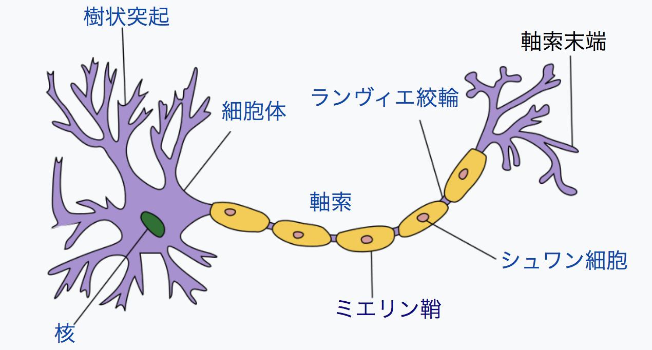 神経細胞の構造