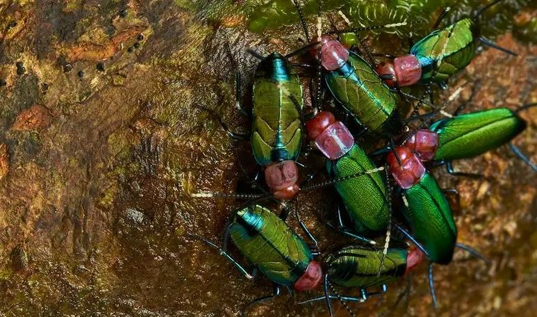 社会性ゴキブリは日本のゴキブリとは異なりカラフルで美しい色合いをしている