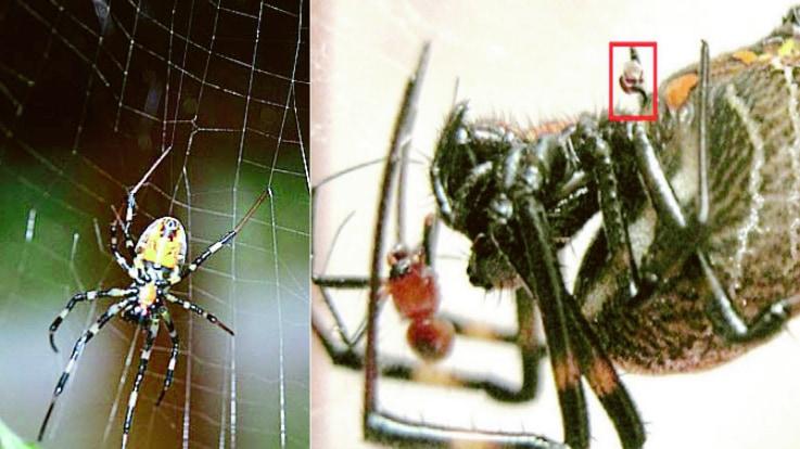 交尾後メスに食べられないため、自ら「ペニスを切り離すクモ」は戦闘につよい