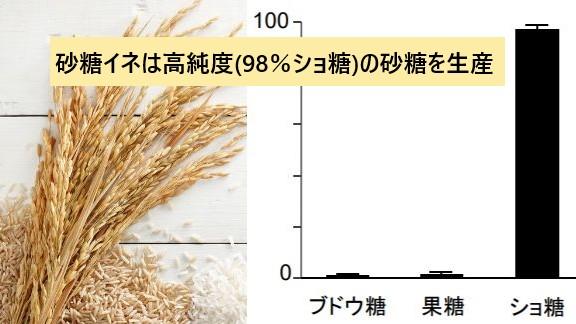 世界中で砂糖を作れる「砂糖イネ」の開発に成功! サトウキビ、サトウダイコンに続く「第3の砂糖原料」