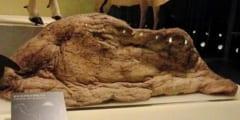 ラクダのコブの中身(脂肪分)