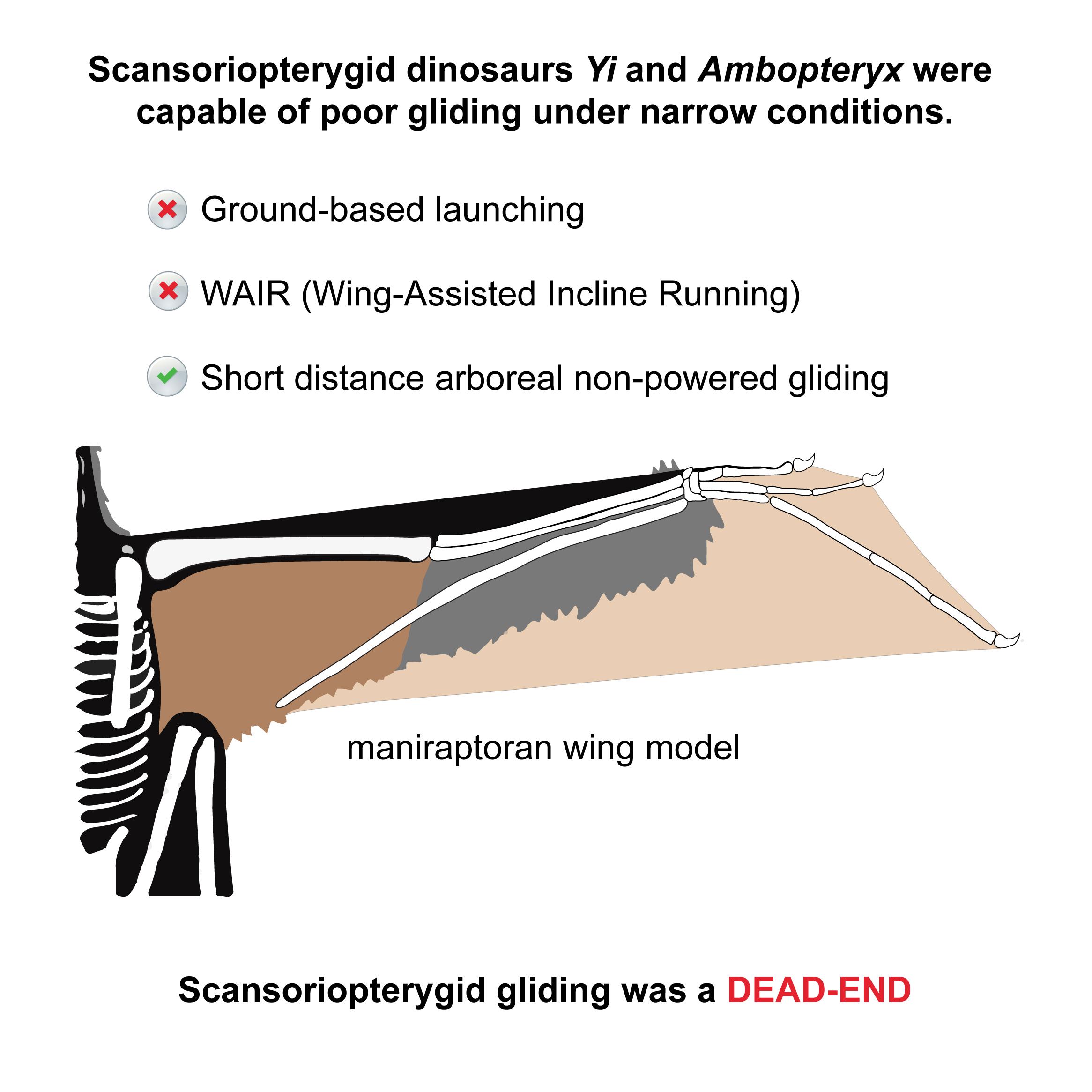 今回の研究の主要な発見。予想される翼膜や筋肉の配置からイーは羽ばたいたり長距離の滑空はできなかったと考えられる。