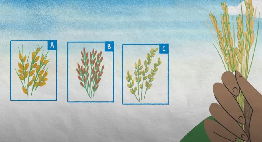 米の品種改良が温室効果ガスを減らし、収穫量を増加させている