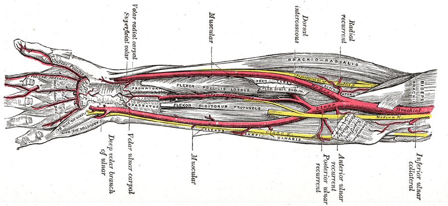 前腕には通常2本の大きな動脈がある