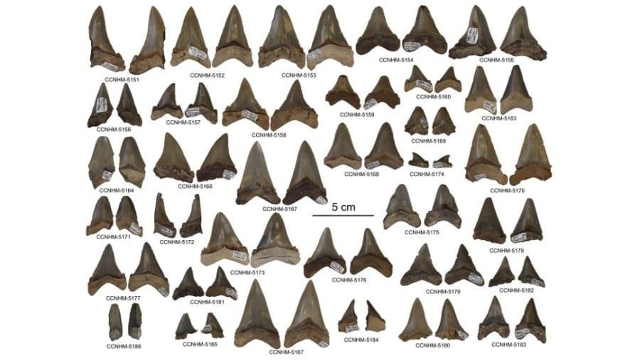 新たに発見された歯の化石